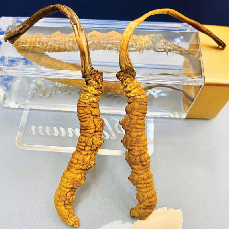 Tác dụng của con đông trùng hạ thảo