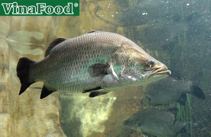 Cá Chẽm Thịt Ngon Giá Rẻ